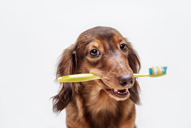 dog with a toothbrush in Lexington, KY
